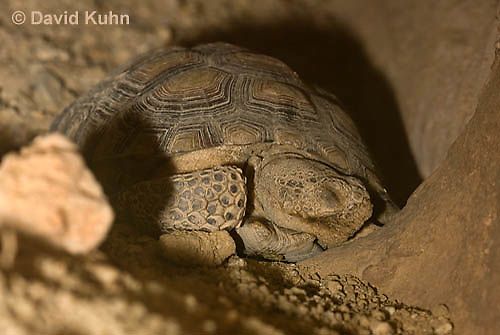 0609-1019  Desert Tortoise Sleeping in Underground Burrow to Rest and Escape Heat (Mojave Desert), Gopherus agassizii  © David Kuhn/Dwight Kuhn Photography
