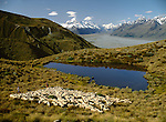 Musterers with sheep on Glentanner Station. Mackenzie Country. Canterbury New Zealand.