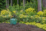 Indianola, WA: Colorful turquoise pot surrounded with deep purple ground cover with rock rose and Japanese forest grasses in forest understory