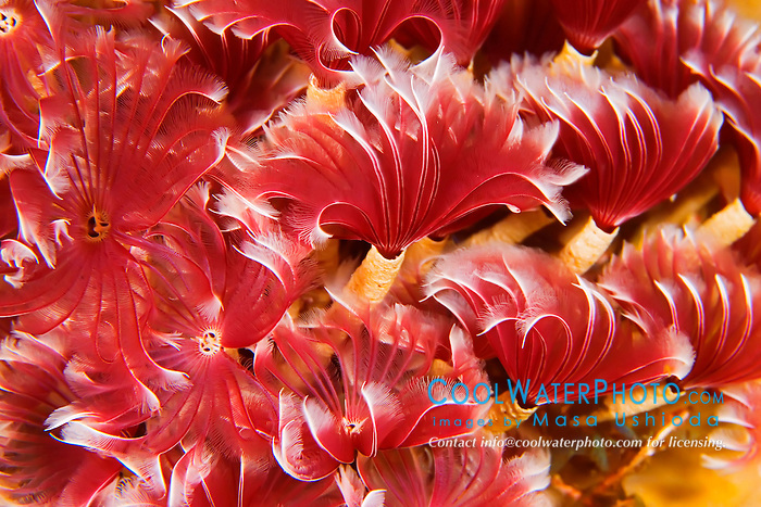 Social Feather Duster Worms, Bispira brunnea, segmented worms, violet variety, feeding on plankton at night, West End, Grand Bahamas, Atlantic Ocean