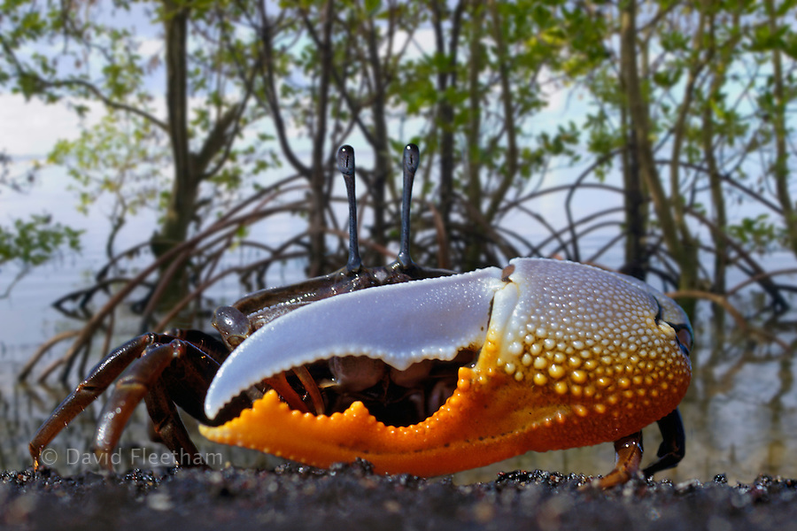 Fiddler crab;  Uca sp, in mangroves.  Indonesia.