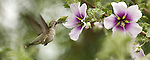 Anna's Hummingbird.Calypte anna.Stevenson Ranch, Ca. May 24, 2008. Fitzroy Barrett