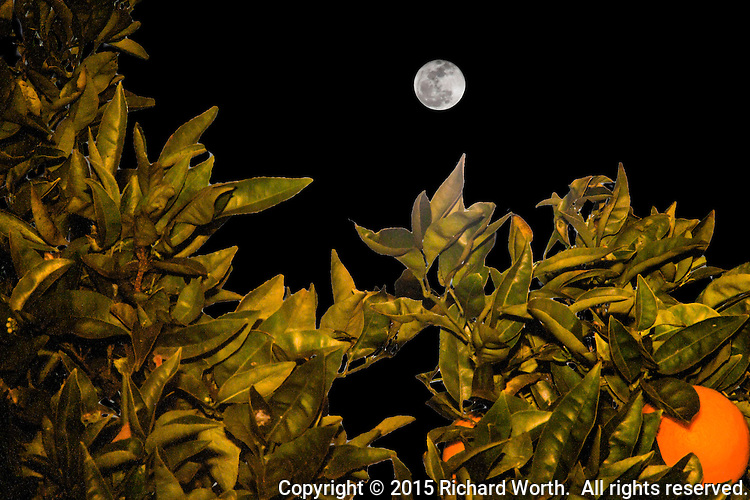 One day after the Snow Full Moon of February 2015, it, the moon, is captured in a composite of two images taken not quite three minutes apart.  It floats over an orange tree.