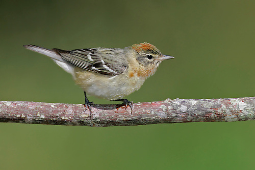 Bay-breasted Warbler - Setophaga castanea - Adult female breeding