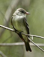 Eastern wood-peewee adult on branch at Paradise Pond, Port Aransas, TX