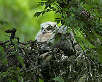 Great-horned Owl young in nest, Mullen, TX