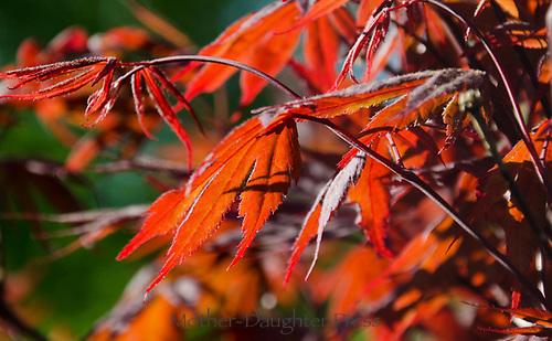 Japanese maple leaves, Maine, USA