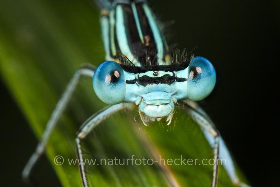Gemeine Federlibelle, Blaue Federlibelle, Männchen, Platycnemis pennipes, white-legged damselfly, male