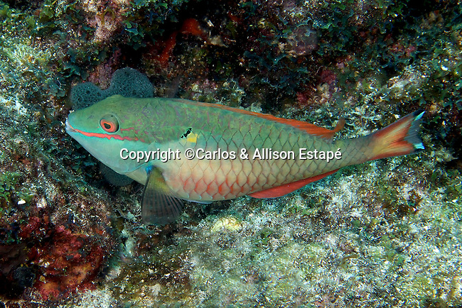 Sparisoma aurofrenatum, Redband parrotfish, Florida Keys