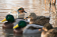 A Green-winged Teal swims among a group of Mallards on a pond near Bozeman, Montana.