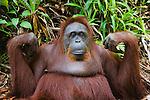 Old female orangutan, portrait, (Pongo pygmaeus), endangered species due to loss of habitat, spread of oil palm plantations, Tanjung Puting National Park, Borneo, East Kalimantan,