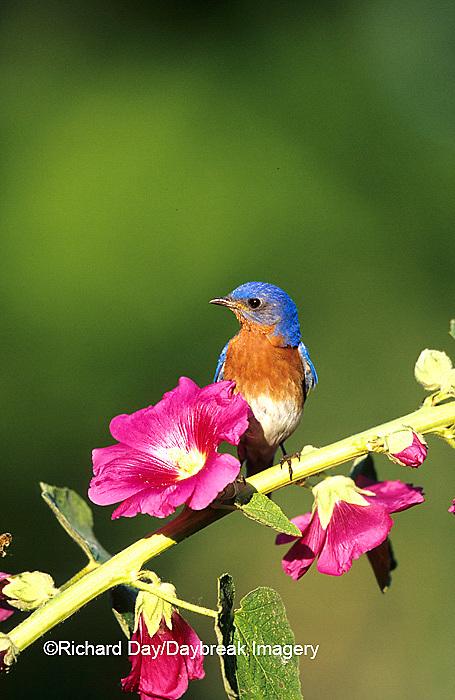 01377-132.15 Eastern Bluebird (Sialia sialis) male on Hollyhock (Alcea rosea) Marion Co.  IL