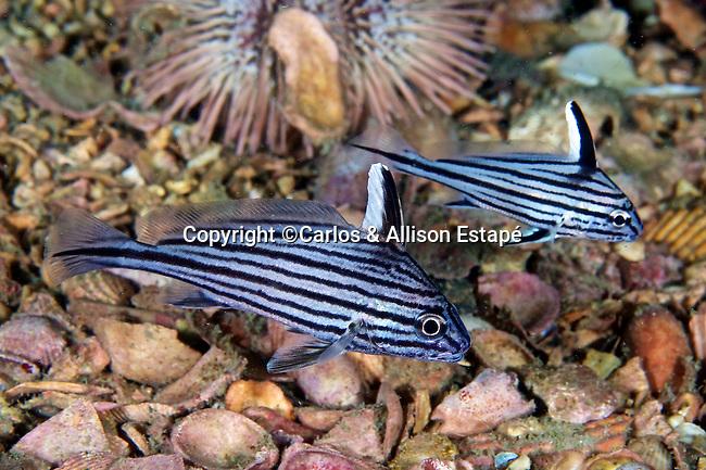 Pareques umbrosus, Cubbyu, intermediate,  NE Gulf of Mexico