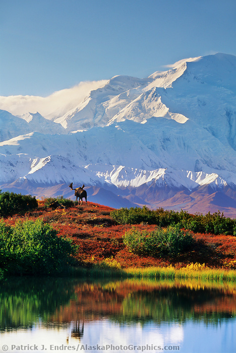 Bull moose in the autumn tundra. Reflection of Denali in reflection pond in Denali National Park, Alaska.