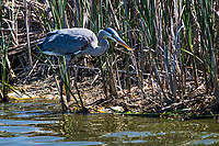 A Great blue heron has captured a small fish while searching for food along the shoreline at a Northern California wetland.