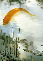 Large Coi or carp goldfish in lake waiting for food with floating lily pads and reeds at the shoreline.