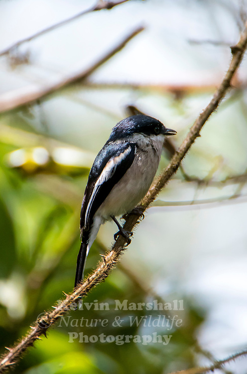 Bar-winged flycatcher-shrike (Hemipus picatus) is a small passerine bird formerly placed in the cuckooshrike family but probably closer to the woodshrikes. It is found in the forests of tropical southern Asia from the Himalayas and hills of southern India to Indonesia. Mainly insectivorous it is found hunting in the mid-canopy of forests, often joining mixed-species foraging flocks. They perch upright and have a distinctive pattern of black and white, males being more shiny black than the females. In some populations the colour of the back is brownish while others have a dark wash on the underside.