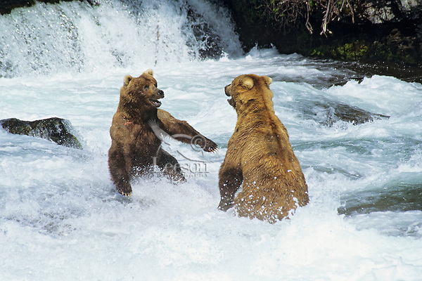 Grizzly bears (Ursus arctos), two males fighting over fishing location, Alaska.