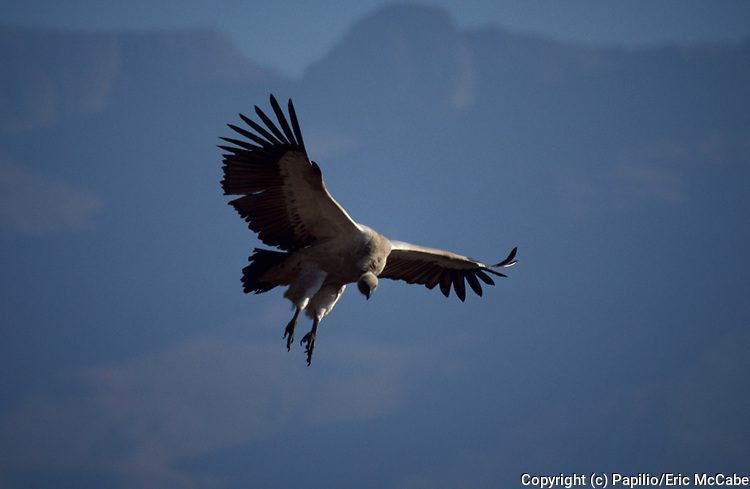 Cape Vulture, flying, in flight, coming into land, Gyps coprotheres, blue sky, K. Natal,
