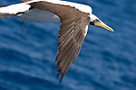 The Boiler dive site, San Benedicto Island, Revillagigedos Islands, Mexico; Nazca Booby (Sula granti) in flight around the Solmar V dive boat , Copyright © Matthew Meier, matthewmeierphoto.com All Rights Reserved