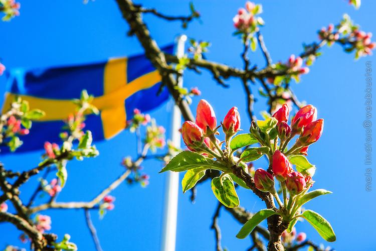 Svensk flagga och blommande äppelträd
