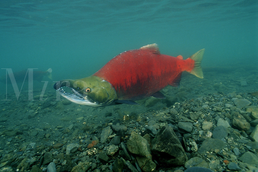 "Sockeye salmon, Oncorhynchus nerka, is found in the North Pacific . They are called ""Reds"" due to their spawning color . They return to the rivers of their birth to breed and die, Alaska"