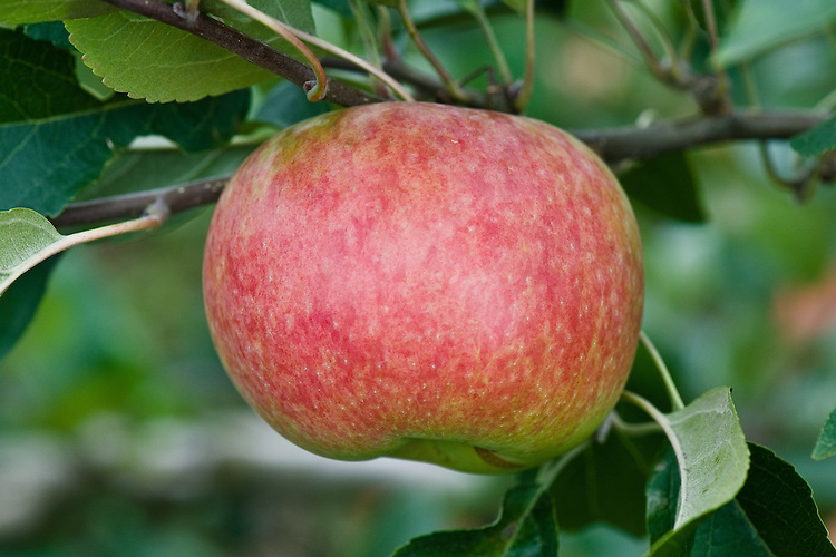 Apple 'Thorpe's Peach', early September. An English dessert apple raised in 1899 at Thorpe's Nursery in Brackley, Northamptonshire.