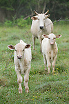 Brazoria County, Damon, Texas; two white calves with a white Brahma mother cow <br /> out in the pasture