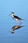 USA, California,  Black-necked Stilt (Himantopus mexicanus) relecting in Lindo Lake in San Diego County.