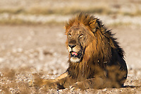 Big territorial male lion at rest on the Etosha plains