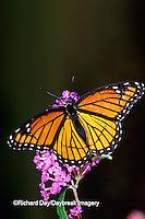 03421-00415 Viceroy (Limenitis archippus) on Butterfly Bush (Buddleia davidii), Marion Co.  IL