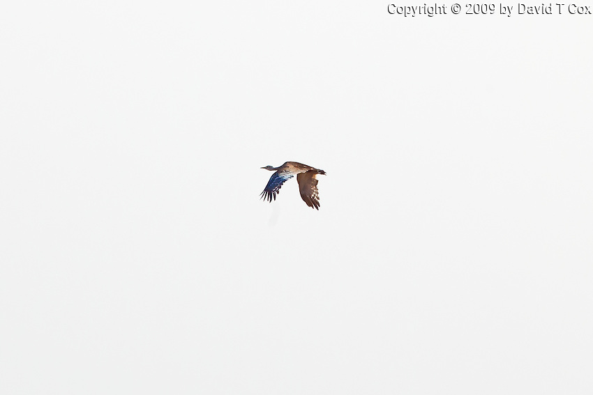 Australian Bustard, Mareeba Wetlands, Queensland, Australia