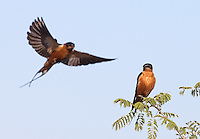 Red-breasted swallows photographed in Kruger National Park.
