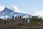 A group of king penguins stand together on a ridge on St. Andrews Bay, backdropped by snowy mountains on South Georgia Island.