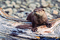 North American river otter or the Canadian river otter, Lutra canadensis or Lontra canadensis, Bozeman, Montana, USA