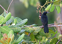 The melodious blackbird is one of many birds found along the Pacific coast.