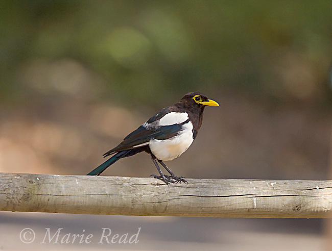 Yellow-billed Magpie (Pica nuttalli), Nojoqui Falls County Park, Santa Barbara County, California, USA