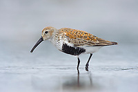 Adult Dunlin (Calidris alpina) in breeding (alternate) plumage during spring migration. Gray's Harbor County, Washington. April.