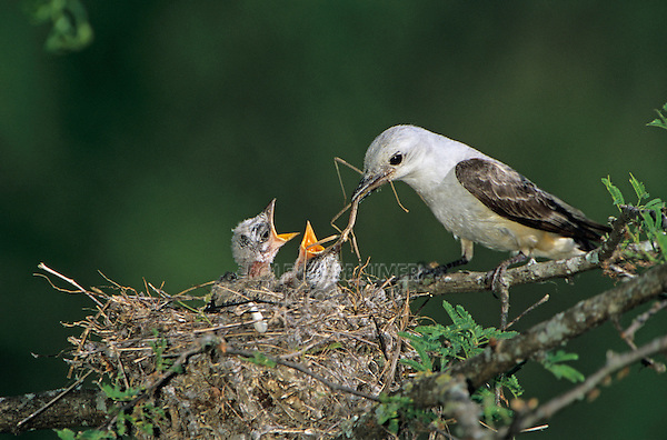 Scissor-tailed Flycatcher, Tyrannus forficatus,adult feeding young in nest, Welder Wildlife Refuge, Sinton, Texas, USA