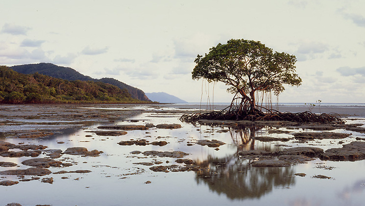 Mangrove Tree &amp; Shore,<br />