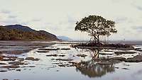 Mangrove Tree & Shore,<br />