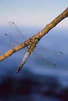 Großer Blaupfeil, Männchen, Schwarzspitzen-Blaupfeil, Orthetrum cancellatum, black-tailed skimmer