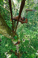 Balancing on a branch 40 metres above the ground, the honey-hunter opens a wild bees' nest with the axe called a Djombi to appropriate the honey. His only protection against the bees' fury is the smoker, which is made with a bundle of sticks stuffed into leaves.///En équilibre sur une branche à 40 mètres du sol, le chasseur ouvre à la hâche nommée Djombi, le nid sauvage des abeilles pour s'approprier le miel. Sa seule protection contre la furie des abeilles est l'enfumoir qui est fabriqué avec un fagot enserré dans des feuilles.