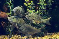 Karpfen, Schuppenkarpfen und Spiegelkarpfen, Schuppen-Karpfen und Spiegel-Karpfen, Zuchtform, Speisefisch, Cyprinus carpio, Common carp