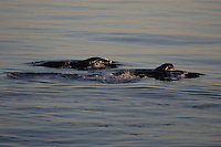 Humpback whales Megaptera novaeangliae lunge feeding on the Surface at sunset. 82N Kvitoya, Arctic Ocean