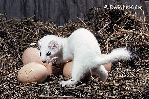 MA09-008x  Short-Tailed Weasel - ermine raiding chicken pen in winter - Mustela erminea