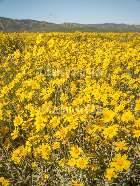 Golden wildflowers cover the Carrizo Plain, Caliente Range, San Luis Obispo County, Calif.