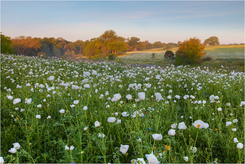 White Poppies can appear anywhere in the spring in Texas. This field of Texas wildflowers appeared as a explored some backroads in the Hill Country. While I was stopped, a herd of cattle began moving towards me and mooing, so my time here was fleeting!