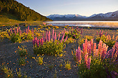 Flowering lupins & Californian poppies cover the foreshore of Lake Tekapo with the Two Thumb range in the distance, Tekapo, Mackenzie District, Canterbury, South Island, New Zealand.