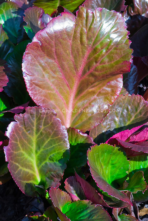 Bergenia 'Bressingham Ruby' in March, early spring